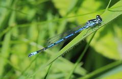Stithians Lake, Cornwall UK (Dave913) Tags: azure damselfly