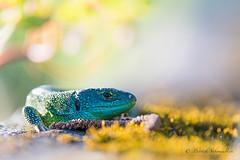 Lézard vert-Lacerta bilineata (PatNik01) Tags: lezard lezardvert lacertabilineata reptile bugey france nikon nature naturesauvage wild wildlife vert