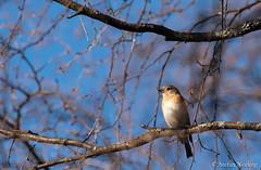 Bergfink hona (Stefan Norling) Tags: fågel