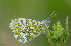 DSC8557  Orange tip... (Jeff Lack Wildlife&Nature) Tags: butterflies butterfly orangetip lepidoptera insect insects wildlife wetlands woodlands woodland gardens glades grasslands heathland hedgerows heathlands heaths wildflowers wildlifephotography jefflackphotography macro nature