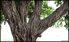The Old Tree.. (Verma Ruchi) Tags: tree branches roots leaves