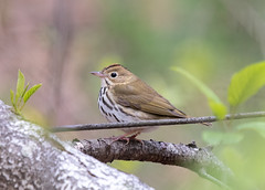 Ovenbird, Massachusetts (Beth Rizzo) Tags: nature wildlife wildlifephotography animals naturallightphotography naturalworld naturallight pond pondlife ovenbird bird birds birdphotography birding birdwatching warblers warbler spring springnewengland newengland massachusetts springinboston