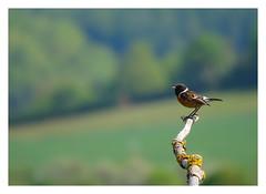 Saxicola rubicola (M.L Photographie) Tags: oiseau bird france normandie normandy eure wild wildlife wildlifephoto wildlifephotography ornitho ornithologie ornithology sony dschx400v saxicola tarier