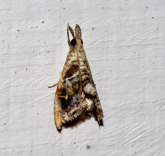 ecosystem/fauna/Crambid Moth(Glaucocharis sp. ) (biodiversity western ghats(before it is gone)) Tags: taxonomy:family=crambidae taxonomy:genus=glaucocharis