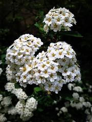 Vanhoutte spirea (Anna Gelashvili) Tags: спиреявангутта vanhouttespirea цветы flowers garden сад цветок flower цветочки plant ყვავილი ყვავილები leaf лист растение
