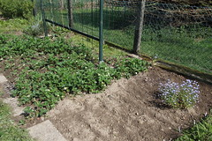 My garden (XXXVIII) (dididumm) Tags: garden seventhyear spring prepared growing green vegetables strawberries forgetmenot vergissmeinnicht erdbeeren gemüse grün wachsen vorbereitet frühling siebtesjahr garten