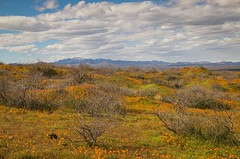 IMG_0111-Peridot AZ (Desert Rose Images) Tags: landscape scenic wildflowers mountains sky clouds arizona passages peridit san carlos indian reservation