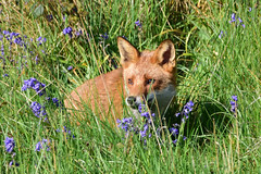 Vixen (Terry Angus) Tags: fox redfox foxcub cub young bluebells norden rochdale uk