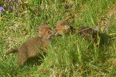 Fox Cubs (Terry Angus) Tags: fox redfox foxcub cub young bluebells norden rochdale uk