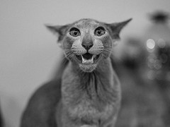 DSCF6001 (KirillSokolov) Tags: кот коты cat fujifilmru fujifilm gfx mirrorless mediumformat mf среднийформат цифра фуджи беззеркалка ориентал