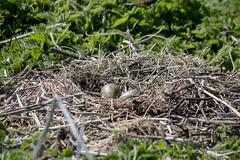 Inner Farne (ukalex) Tags: inner farne birds bird nature puffin puffins wildlife sea rocks sky travel