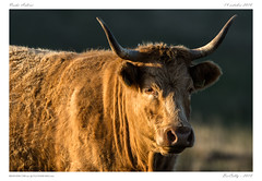 Aubrac (BerColly) Tags: france auvergne cantal vache cow aubrac portrait bercolly google flickr