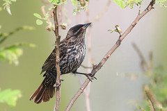 Red-Winged Blackbird (Female) (mnolen2) Tags: bird blackbird red winged redwinged female nature