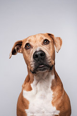 Thinking of you... (Wieselblitz) Tags: dog dogs dogphotography dogphotographer dogportrait doginthestudio pitbull staffordshire staffordshirebullterrier bullterrier bullterrierportrait pet pets petphotography petportrait petphotographer blockhead bull bully looking up emotion character personality dogsonality