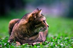 DSC_3244 (Kyp-chan) Tags: animal thailand bangkok lumpinipark สวนลุมพินี cat กรุงเทพมหานคร บางกอก travel voyage