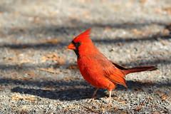 Cardinal rouge, Northern Cardinal (Claudette Archambault) Tags: cardinalrouge northerncardinal
