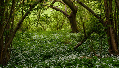 Near Helmsley, North Yorkshire (alh1) Tags: wildgarlic england northyorkshire ransoms