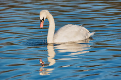 Been Dabbling (davidhollingworth764636) Tags: swan mute dabbling ripples reflections graceful waterfowl nature tranquil photograph