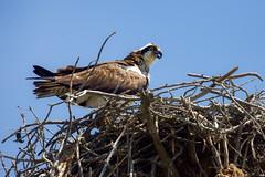 Osprey (stephaniepluscht) Tags: alabama 2019 bon secour national wildlife refuge bay nest nesting