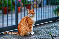 Silvestro - gatto di strada / Sylvester - street cat (Eugenio GV Costa) Tags: approvato gatto cat gatti cats animal animali domestici