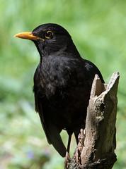 Blackbird (NickWakeling) Tags: blackbird norfolk weetingheath canoneos7dmarkii sigma150600mmf563dgoshsmcontemporary