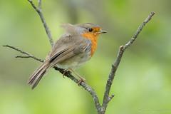 Petit coup de bise. (DorianHunt) Tags: birds bokeh europeanrobin switzerland may 2019 nikond500 sigma 150600mm
