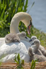 Swan and Cygnets (Jacky Parker Photography) Tags: muteswan cygnets spring2019 springtime hatching young mother fluffy cute beautyinnature fragility nest nesting abbotsburyswannery dorset swannery swan swanandcygnets closeup portraitformat outdoors nopeople naturephotography nikond750 uk