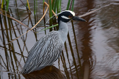 Yellow-crowned White Heron (stephaniepluscht) Tags: alabama 2019 bon secour national wildlife refuge yellowcrowned night heron yellow crown crowned