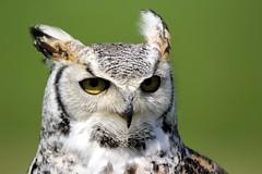 Great Horned Owl - NCBP - 2019-05-14 (BillyGoat75) Tags: greathornedowl owl bird birdofprey captive ncbp nationalcentreforbirdsofprey duncombepark helmsley northyorkshire