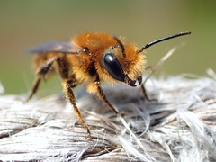 Osmia leaiana/niveata male (Stefan Verheyen) Tags: bee solitary macro insect