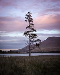 Lone Pine (Russell-Davies) Tags: lochtulla bridgeoforchy highlands uk scotland tree pinetree scotspine loch mountain sunset clouds landscape canon 6dmkii minimal grass 50mm munro