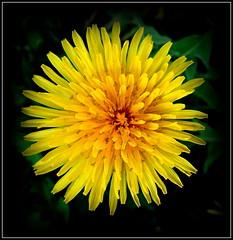 Natural Wonder (dimaruss34) Tags: newyork brooklyn image flower dmitriyfomenko dandelion
