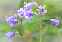 Bluebells (littlestschnauzer) Tags: flowers bluebells spring flowering 2019 may uk blue petals bells delicate fragile pretty