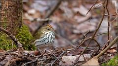 (c)WMH_2019_05_16_4925 Ovenbird (WesleyHowie) Tags: ovenbird birds provincialpark canada location wildlife jerrylawrenceprovincialpark novascotia
