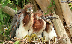 Three of a kind and a full house (Shannon Rose O'Shea) Tags: shannonroseoshea shannonosheawildlifephotography shannonoshea shannon tricoloredheron juveniles three bird birds nest babyhair birdyfeet branches tree leaves outdoors outdoor outside colorful colourful egrettatricolor babies babybird alligatorbreedingmarshandwadingbirdrookery gatorland orlando florida gatorlandbirdrookery rookery flickr wwwflickrcomphotosshannonroseoshea smugmug feathers wings beak beaks bill bills art photo photography photograph wild wildlifephotography wildlifephotographer wildlifephotograph nature wildlife waterfowl birdphotographer naturephotographer femalephotographer girlphotographer womanphotographer shootlikeagirl shootwithacamera throughherlens camera canon canoneos80d canon80d canon100400mm14556lisiiusm eos80d eos 80d 80dbird canon80d100400mmusmii 2019 closeup close longtoes chicks birdgirl