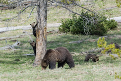 Lookouts (ChicagoBob46) Tags: grizz grizzly grizzlybear bear cub cubs coy yellowstone yellowstonenationalpark nature wildlife coth5 ngc naturethroughthelens npc