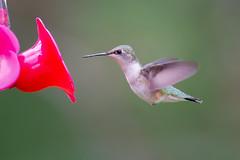 Ms Ruby-throated Hummingbird-42739.jpg (Mully410 * Images) Tags: female birdwatching birding backyard bird birds hummer birdfeeder hummingbird birder birdsinflight rubythroatedhummingbird