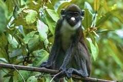 CERCOPITECO NASOBIANCO   --- GREATER SPOT-NOSED MONKE (Ezio Donati is ) Tags: animali animals natura nature alberi trees foresta forest fiumr fiver westafrica costadavorio areasanpedro laneroriver
