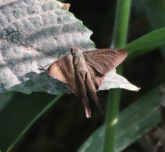 Brown Longtail (tombenson76) Tags: mexico jalisco lakechapala urbanus longtail skipper brownlongtail urbanusprocne