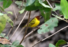Mangrove (Yellow) Warbler (Jim Sparrell) Tags: birds warblers