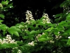 Deep Spring (Robert Cowlishaw (Mertonian)) Tags: parasophia shadows sx70hs powershot canon canonpowershotsx70hs blossoms tree wonder awe ineffable lunchstrolling robertcowlishaw mertonian spring2019 deeply