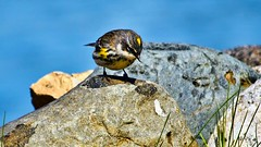 OK Own Up, Who's responcible for this ? (Bob's Digital Eye 2) Tags: bobsdigitaleye2 wildbird bird canonefs55250mmf456isstm canon may2019 yellowrumpedwarbler flicker flickr