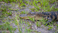 American Alligator (Naturebeast Photography) Tags: alligator hiking nature florida