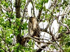 Great Horned Owl (dndj2014) Tags: owl bird birdsofprey greathornedowl barrlake barrlakestatepark coloradowildlife colorado wildlife outdoors unlimitedphotos coloradobirds coloradostateparks