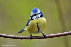 Mésange bleue (Cyanistes caeruleus) (218) (Didier Schürch) Tags: nature foret branche animal cyanistescaeruleus bird ngc birdsgallery oiseau mésange wildlifeeurope