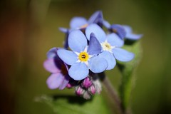 Myosotis    Kodak Anastigmat  63mm  1;2.7 (情事針寸II) Tags: bokeh cmountlens macro nature flower forgetmenot kodakanastigmat63mm127