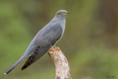 DSC8719  Cuckoo... (Jeff Lack Wildlife&Nature) Tags: cuckoo cuckoos birds avian animal animals wildlife wildbirds wetlands woodlands woods woodland wildlifephotography jefflackphotography parklands parasite summermigrant reeds reedbeds heathland hedgerows heathlands heaths moorland marshland meadows marshes countryside nature