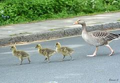 Streetwise (Eleanor (No multiple invites please)) Tags: goose goslings greylaggoose grelaggoslings road verge canonsparklake stanmore uk nikond7100 may2019
