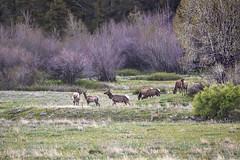 Elk Visitors, Greer, Arizona (cobalt123) Tags: 2019 300mm 527am arizona canon5dmarkii greer may whitemountains early earlymorning elk elkherd handheld morning northeast