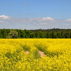 Unfinished field of rapeseed (rob kraay) Tags: rapeseed forestedge robkraay clouds trees yellow flowerfield sky tree